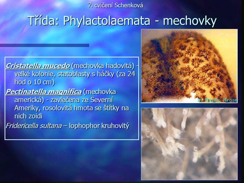 Třída: Phylactolaemata - mechovky