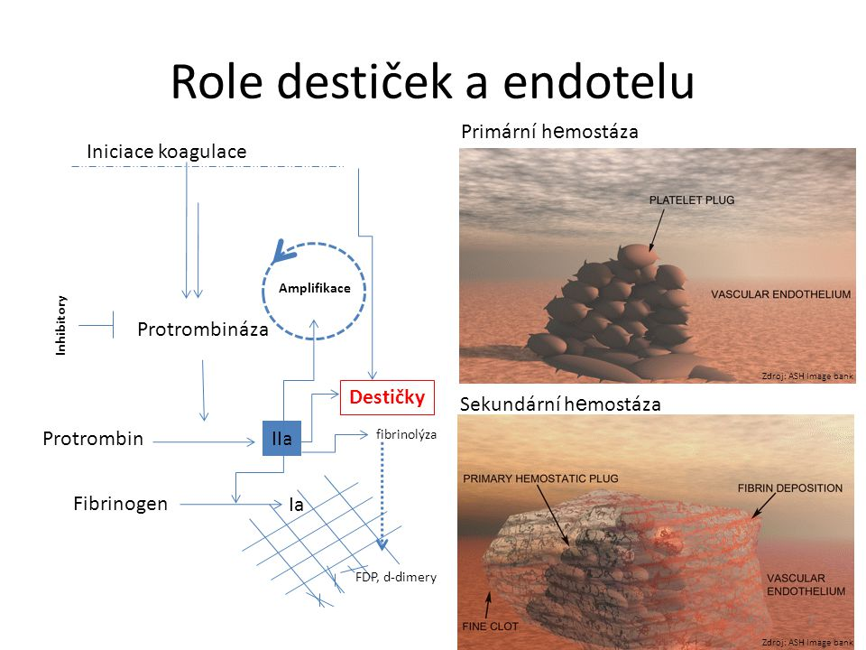 Role destiček a endotelu