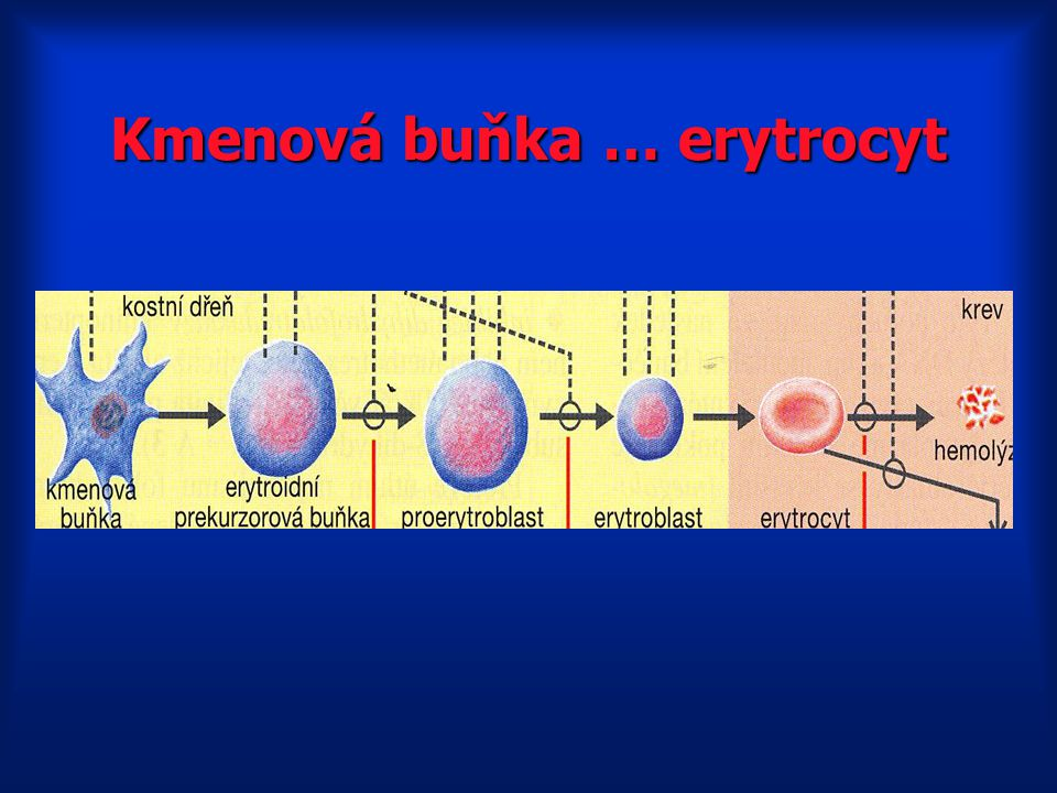 Kmenová buňka … erytrocyt