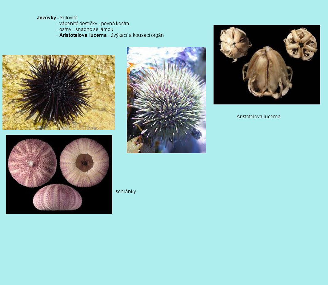 Ježovky - kulovité - vápenité destičky - pevná kostra. - ostny - snadno se lámou. - Aristotelova lucerna - žvýkací a kousací orgán.