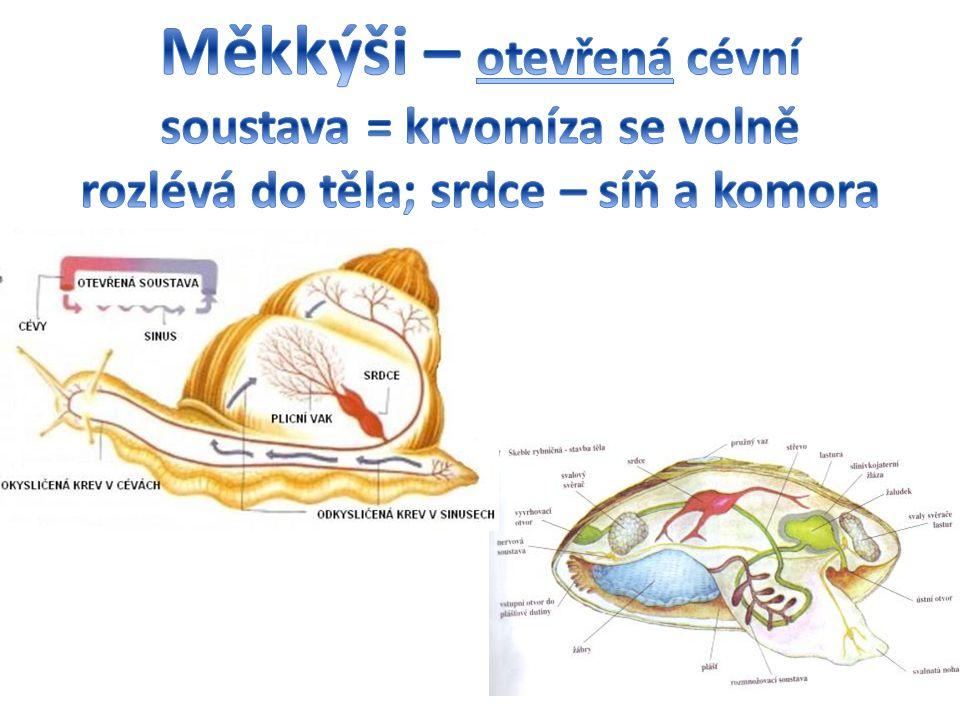 Měkkýši – otevřená cévní soustava = krvomíza se volně rozlévá do těla; srdce – síň a komora