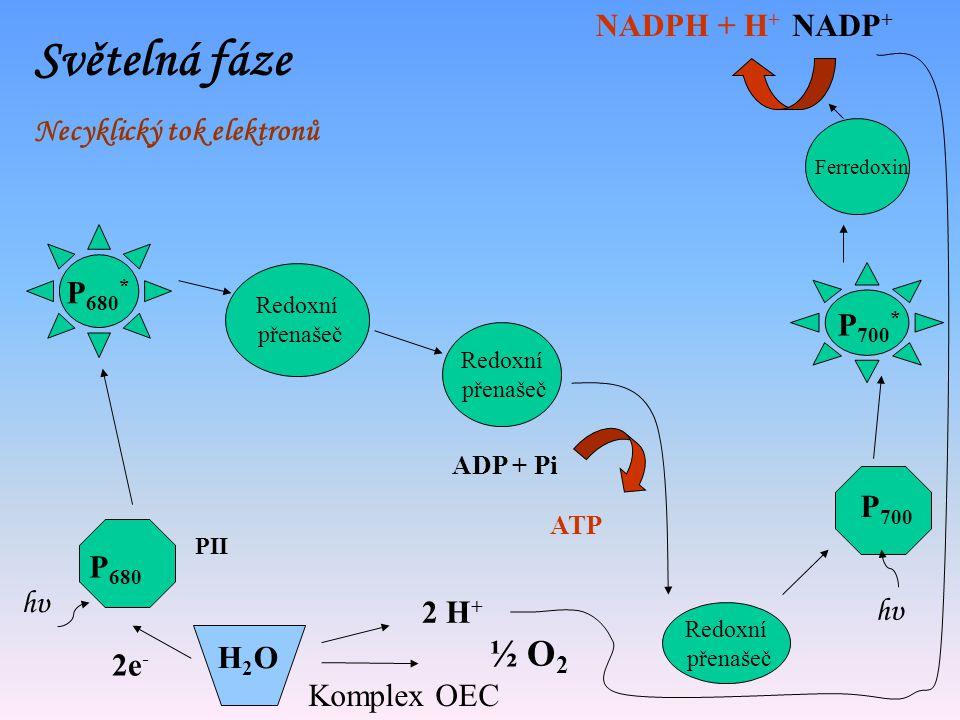 Světelná fáze ½ O2 NADPH + H+ NADP+ Necyklický tok elektronů P680*