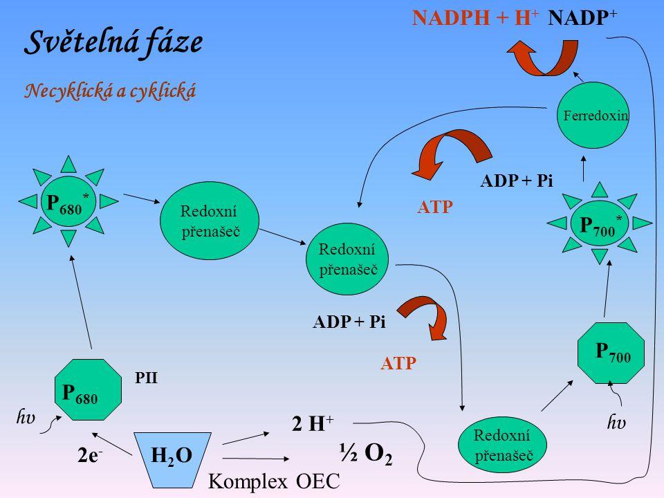 Světelná fáze ½ O2 NADPH + H+ NADP+ Necyklická a cyklická P680* P700*