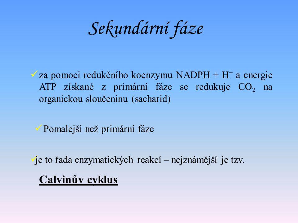 Sekundární fáze Calvinův cyklus