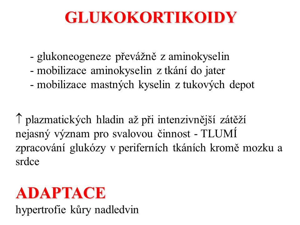 GLUKOKORTIKOIDY ADAPTACE - glukoneogeneze převážně z aminokyselin