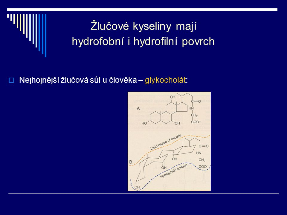 Žlučové kyseliny mají hydrofobní i hydrofilní povrch
