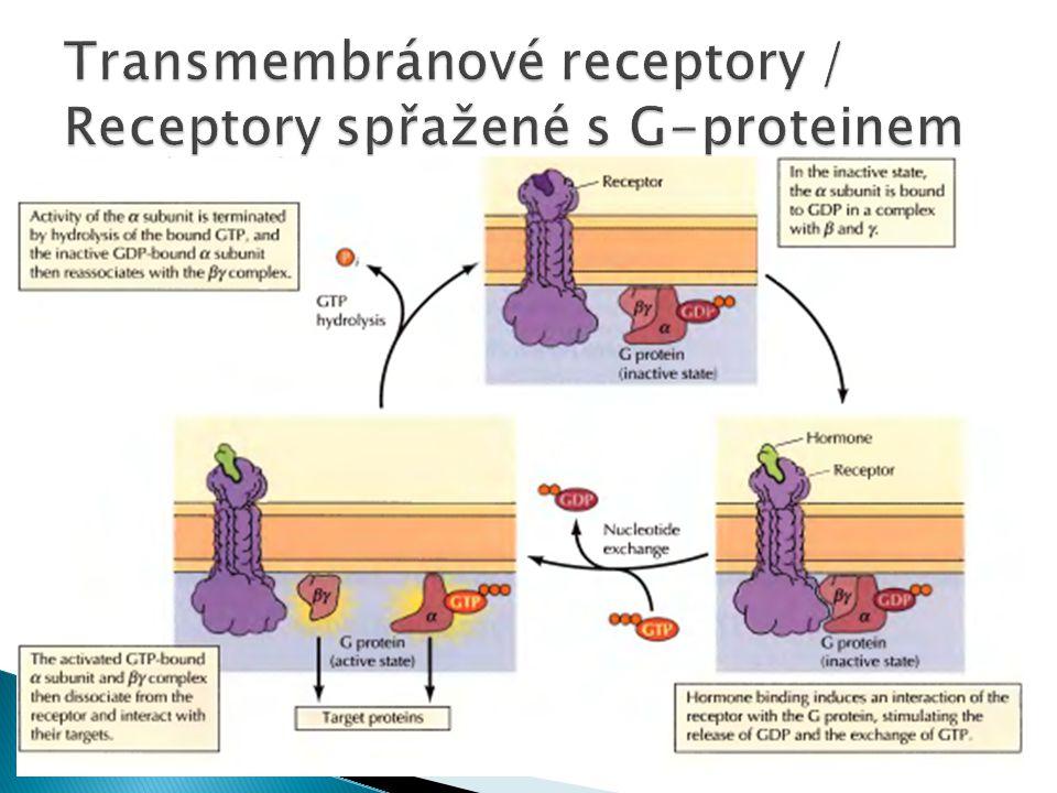 Transmembránové receptory / Receptory spřažené s G-proteinem