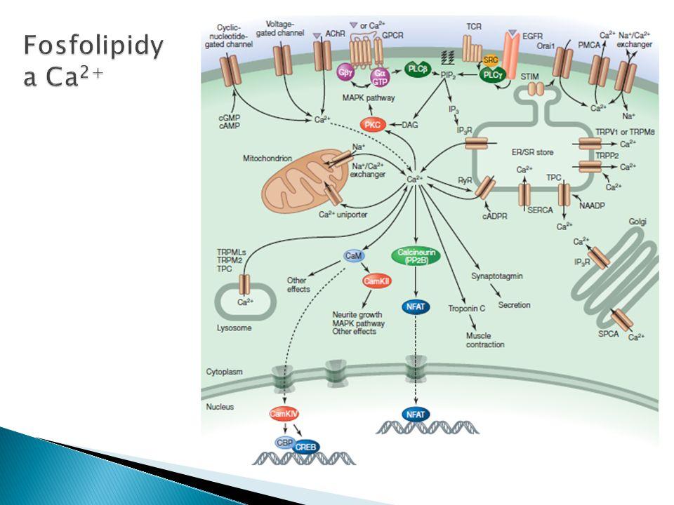 Fosfolipidy a Ca2+