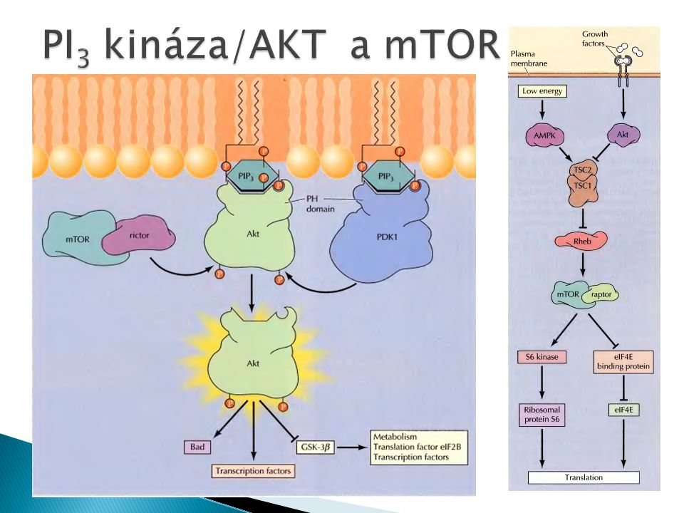 PI3 kináza/AKT a mTOR