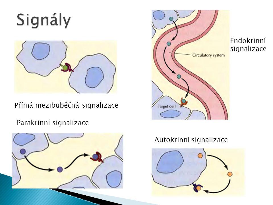 Signály Endokrinní signalizace Přímá mezibuběčná signalizace
