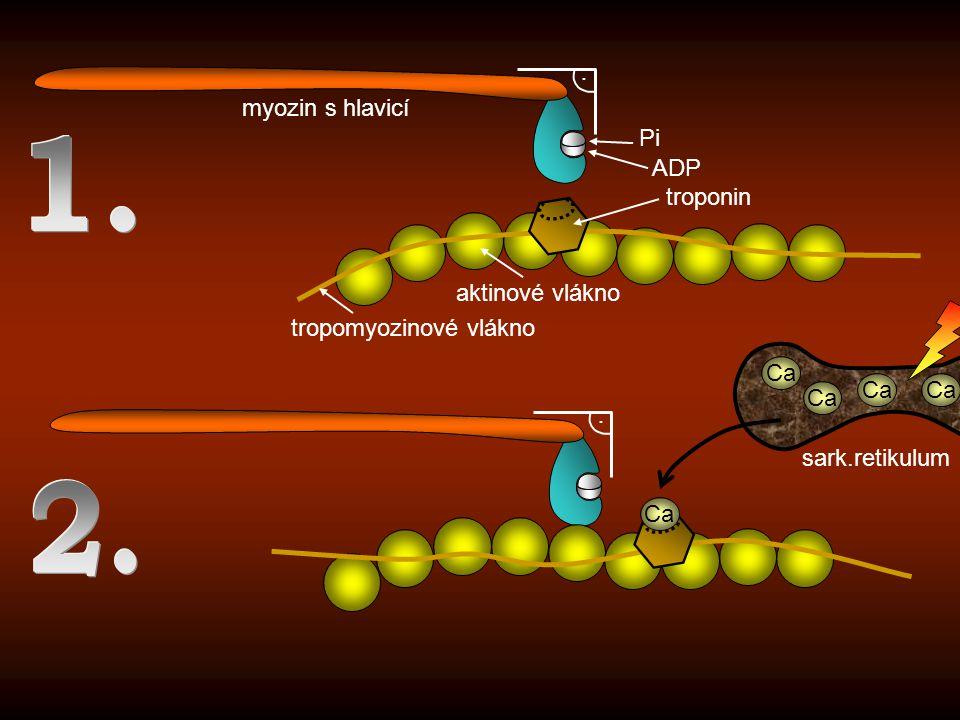 1. 2. . myozin s hlavicí Pi ADP troponin aktinové vlákno