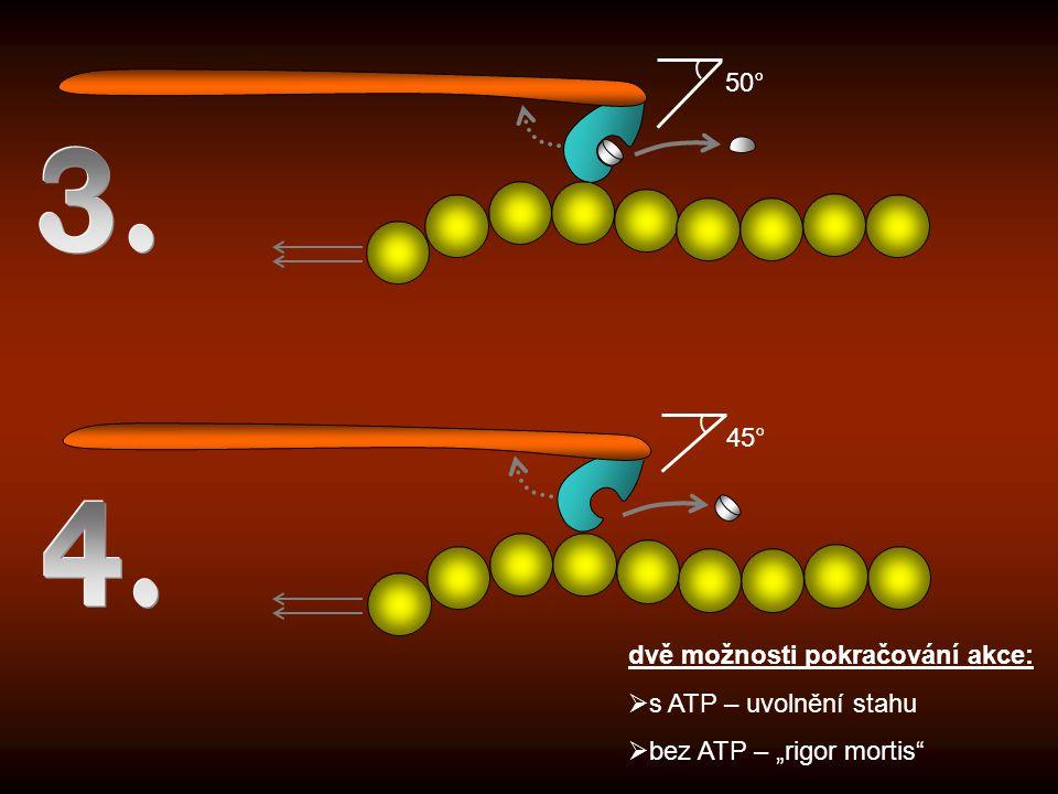3. 4. 50° 45° dvě možnosti pokračování akce: s ATP – uvolnění stahu