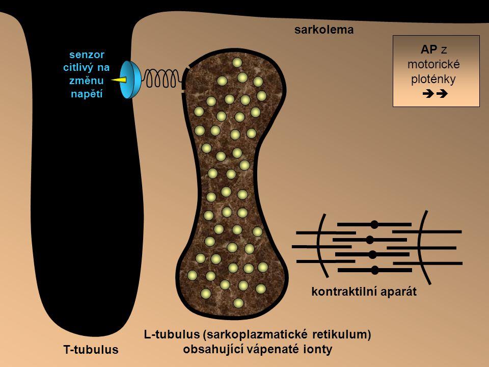 L-tubulus (sarkoplazmatické retikulum) obsahující vápenaté ionty