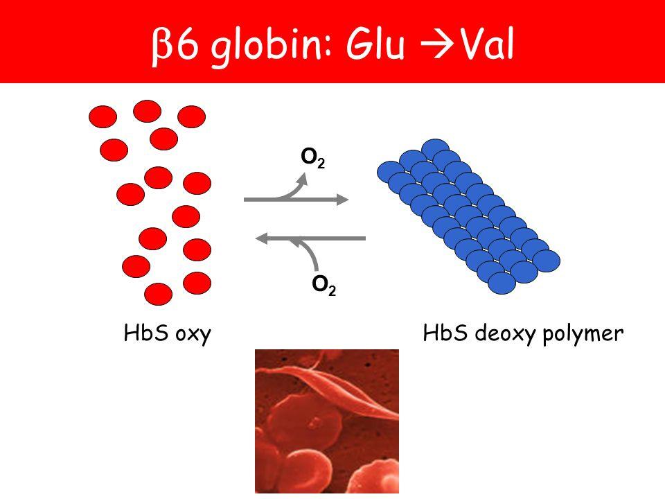 6 globin: Glu Val O2 O2 HbS oxy HbS deoxy polymer
