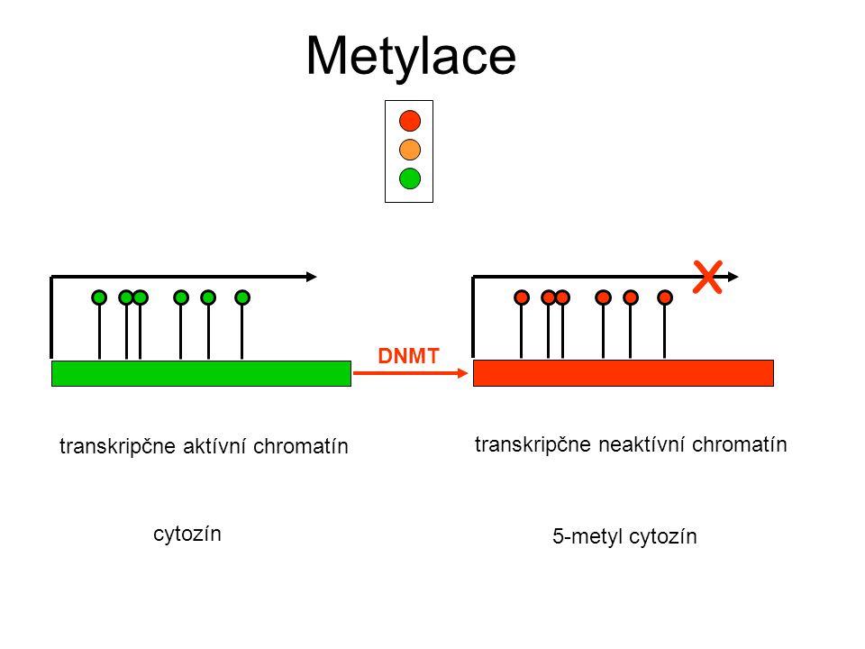 Metylace X DNMT transkripčne aktívní chromatín