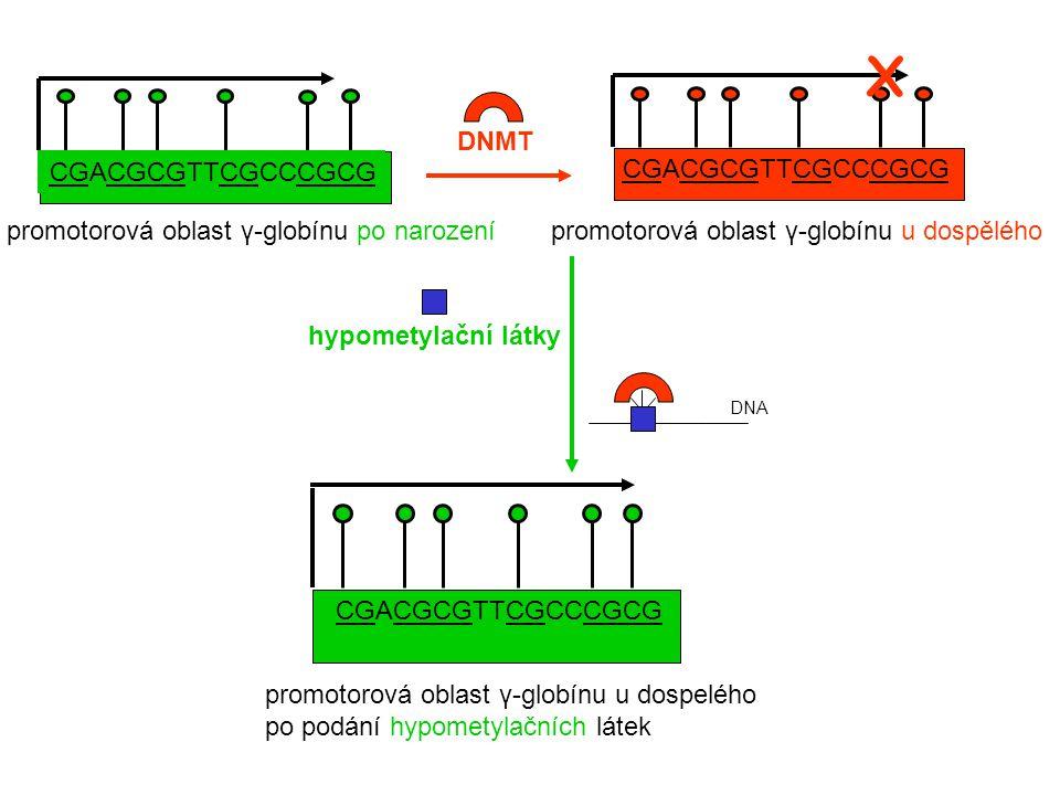 X promotorová oblast γ-globínu u dospělého CGACGCGTTCGCCCGCG