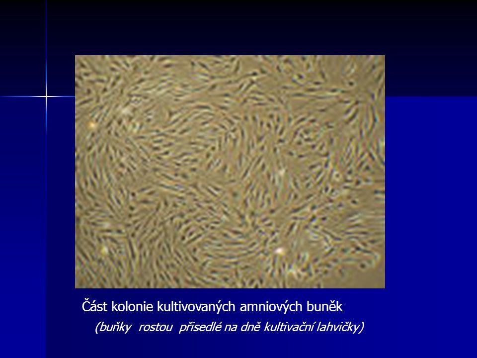 Část kolonie kultivovaných amniových buněk