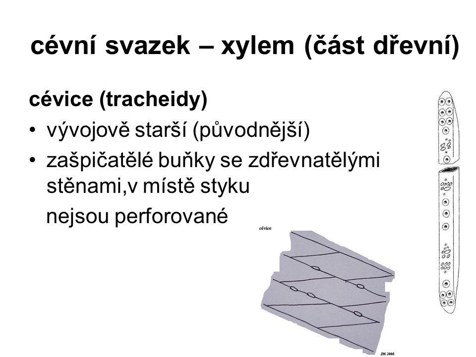 cévní svazek – xylem (část dřevní)