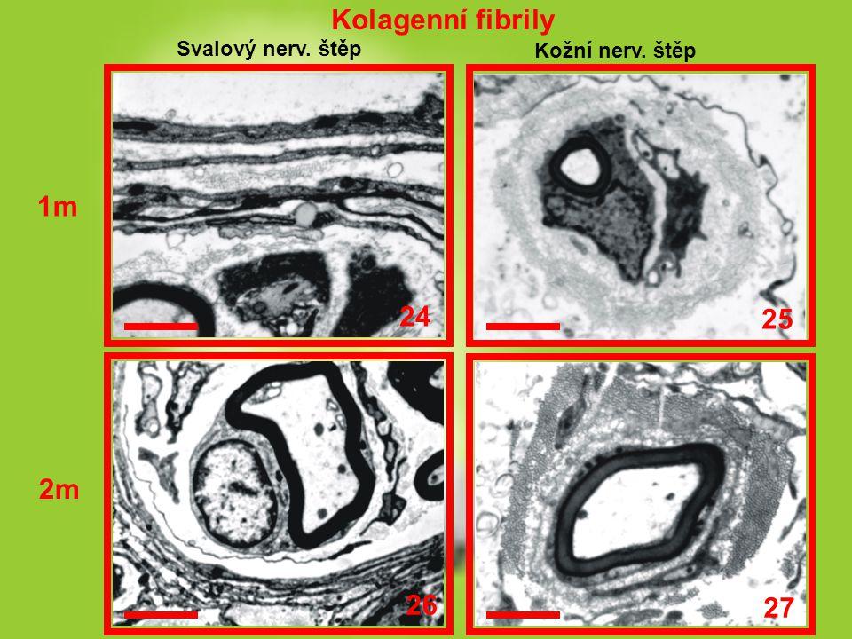 Kolagenní fibrily 1m 24 25 2m 26 27 Svalový nerv. štěp