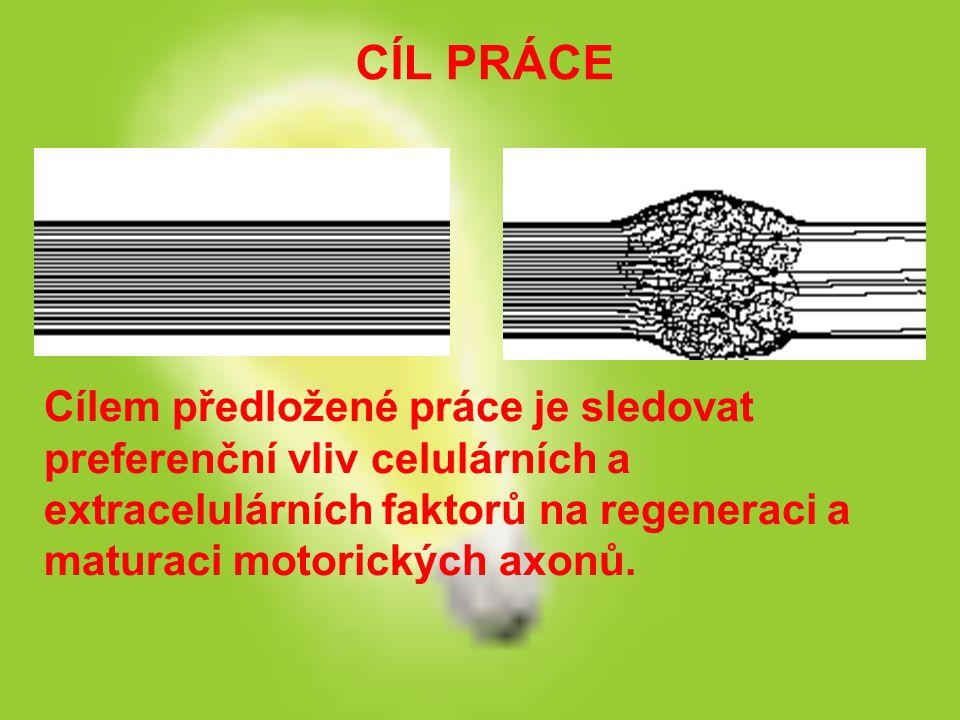 CÍL PRÁCE Cílem předložené práce je sledovat preferenční vliv celulárních a extracelulárních faktorů na regeneraci a maturaci motorických axonů.
