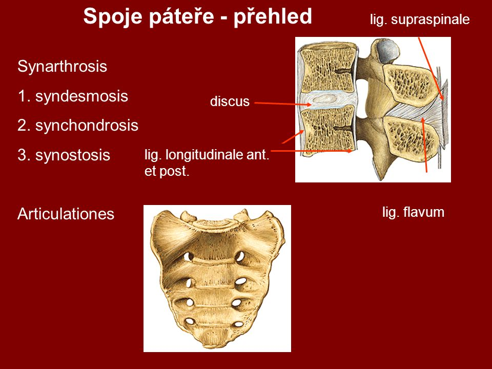 Spoje páteře - přehled Synarthrosis 1. syndesmosis 2. synchondrosis