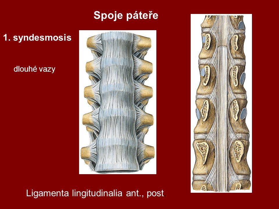 Spoje páteře 1. syndesmosis Ligamenta lingitudinalia ant., post.