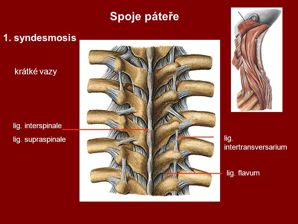 Spoje páteře 1. syndesmosis krátké vazy lig. interspinale