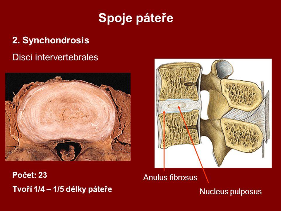 Spoje páteře 2. Synchondrosis Disci intervertebrales Počet: 23