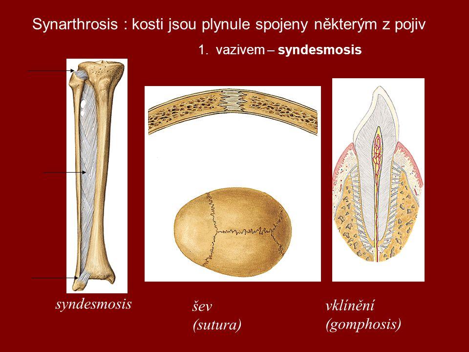 Synarthrosis : kosti jsou plynule spojeny některým z pojiv