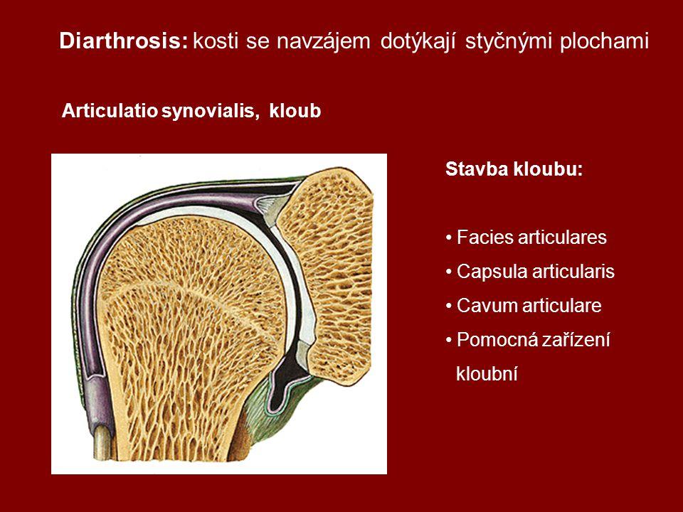 Diarthrosis: kosti se navzájem dotýkají styčnými plochami
