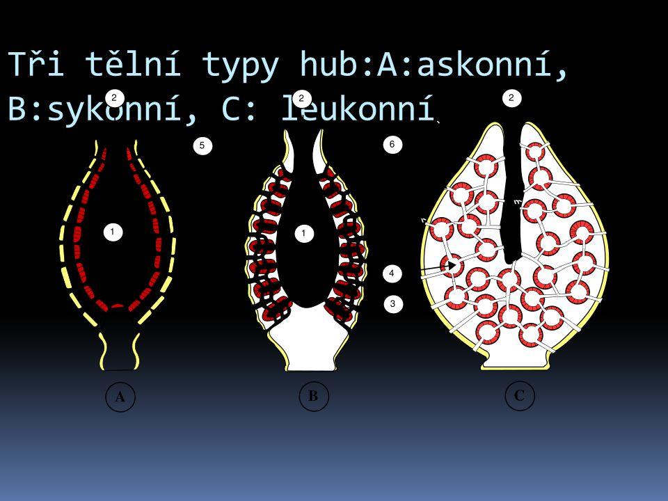 Tři tělní typy hub:A:askonní, B:sykonní, C: leukonní