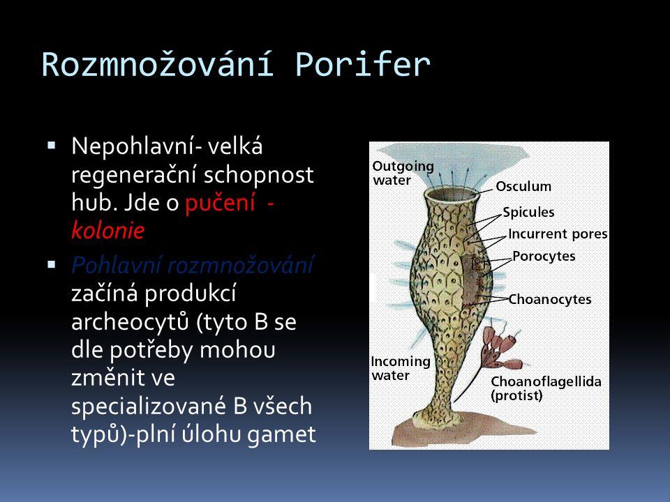 Rozmnožování Porifer Nepohlavní- velká regenerační schopnost hub. Jde o pučení - kolonie.
