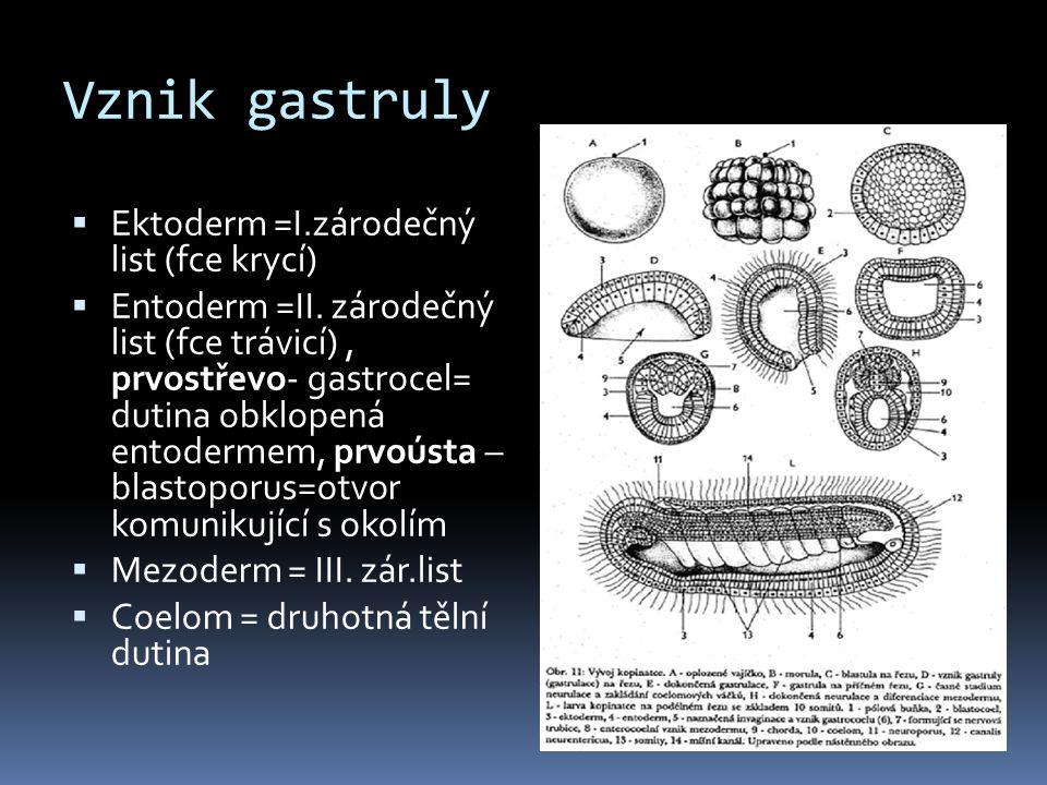 Vznik gastruly Ektoderm =I.zárodečný list (fce krycí)