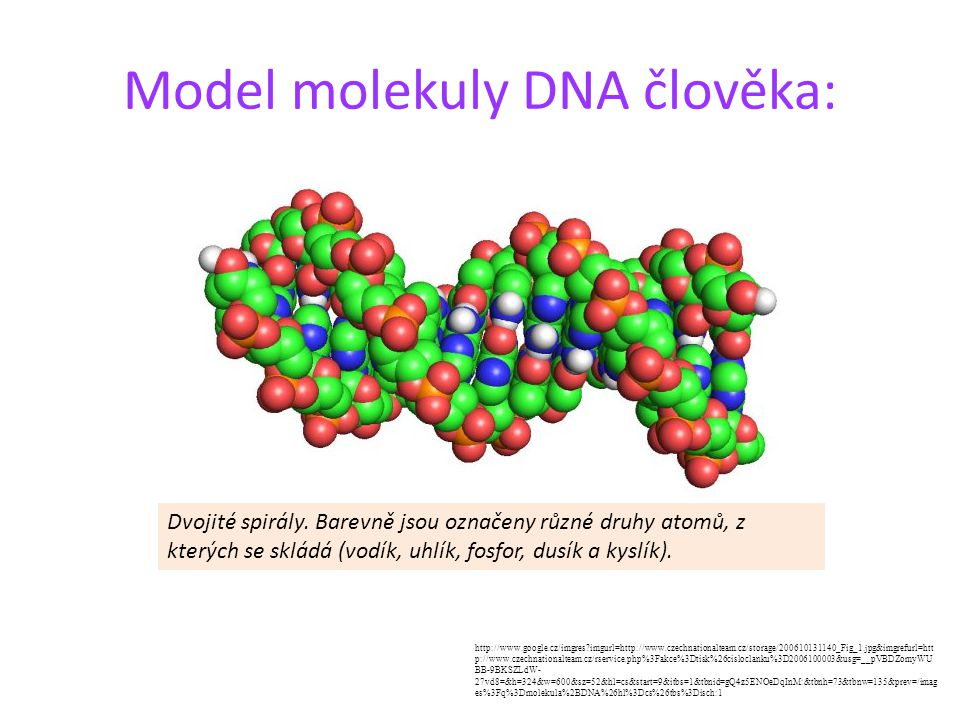 Model molekuly DNA člověka: