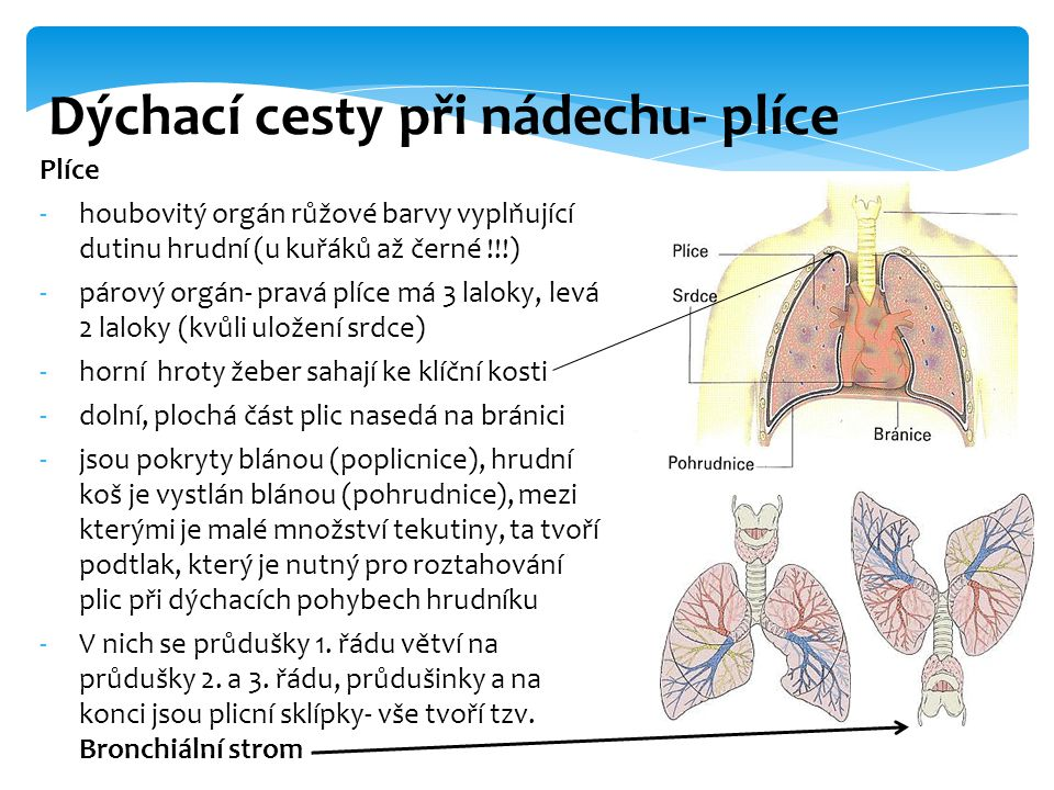 Dýchací cesty při nádechu- plíce