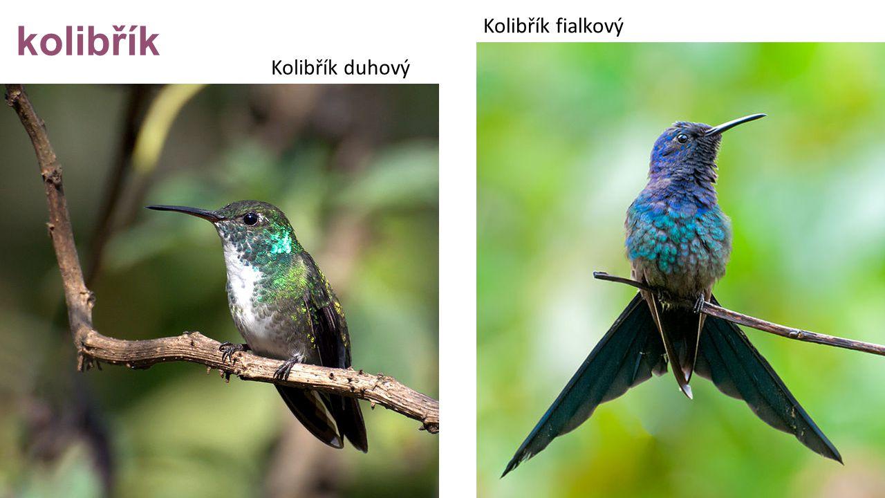 kolibřík Kolibřík fialkový Kolibřík duhový