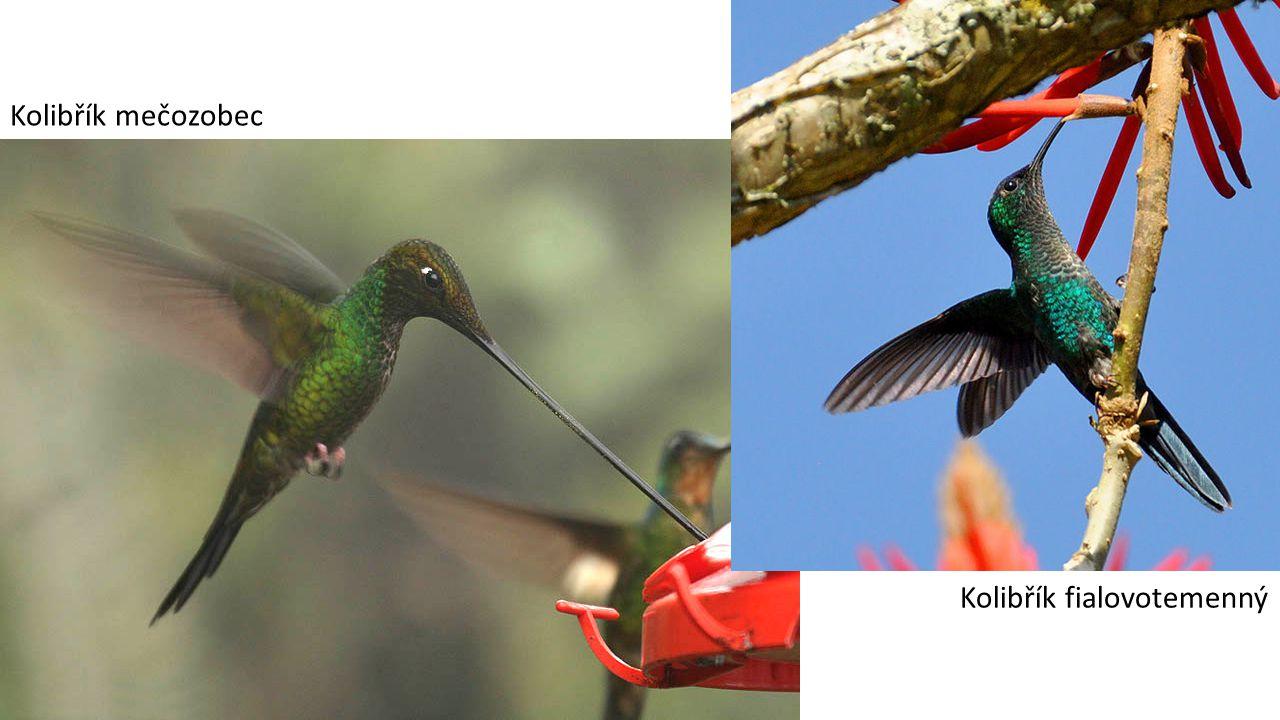 Kolibřík mečozobec Kolibřík fialovotemenný