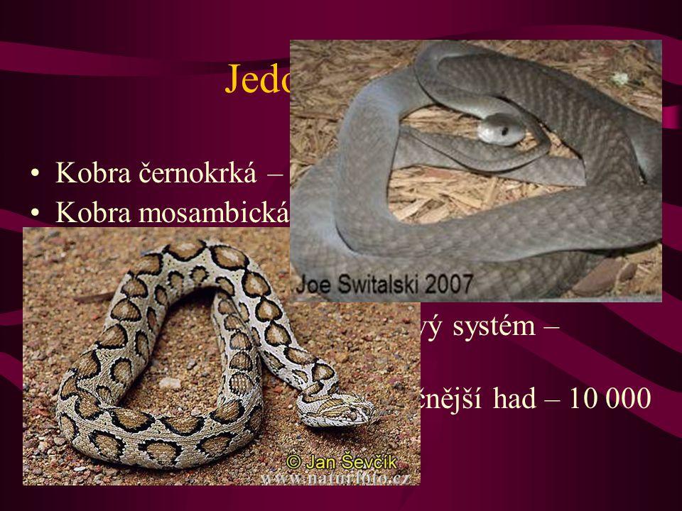 Jedovatí hadi Kobra černokrká – plive do vzdálenosti 3 m