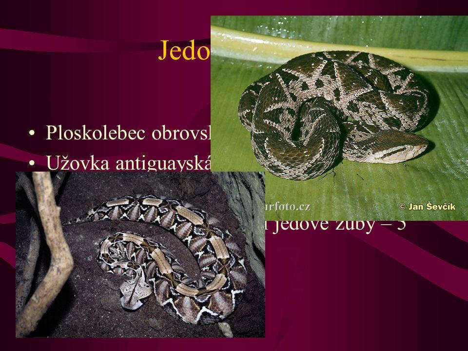 Jedovatí hadi Ploskolebec obrovský – ''stokrokový had''