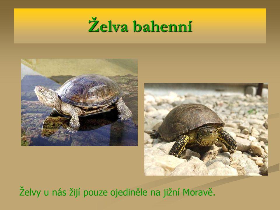 Želva bahenní Želvy u nás žijí pouze ojediněle na jižní Moravě.