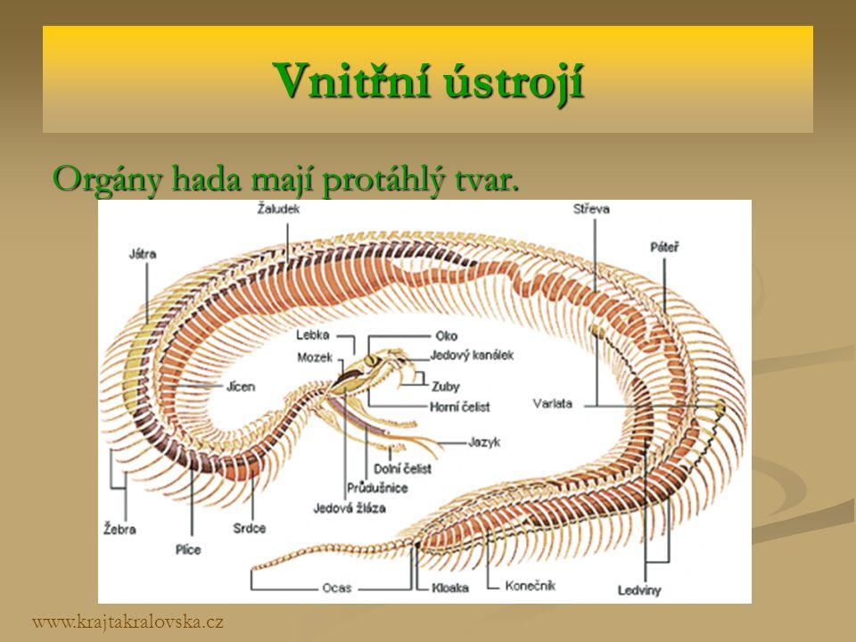 Vnitřní ústrojí Orgány hada mají protáhlý tvar. www.krajtakralovska.cz