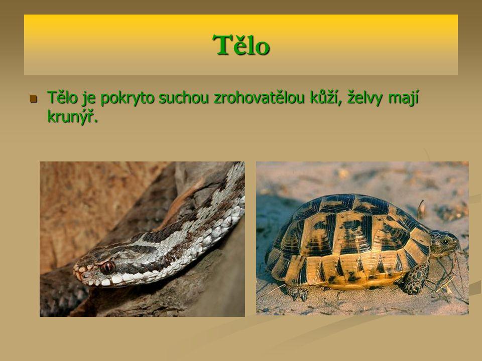 Tělo Tělo je pokryto suchou zrohovatělou kůží, želvy mají krunýř.