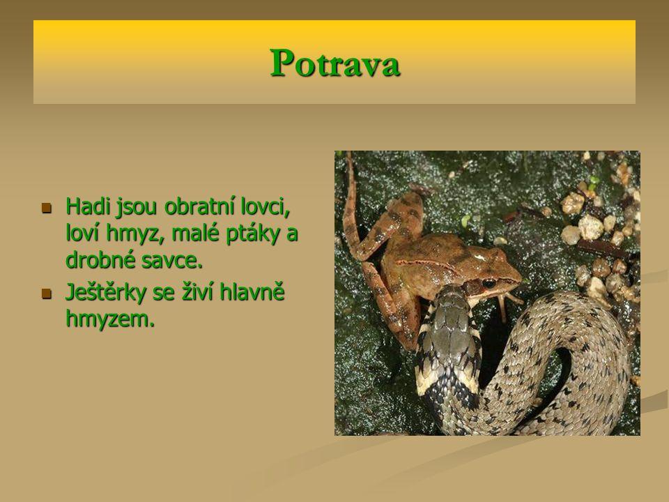 Potrava Hadi jsou obratní lovci, loví hmyz, malé ptáky a drobné savce.