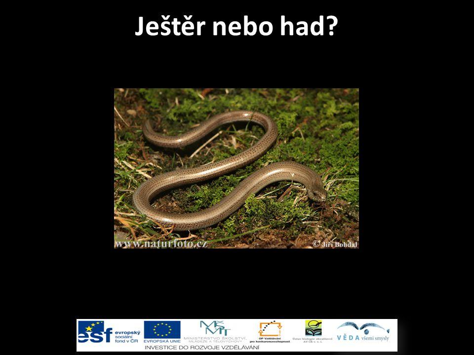 Ještěr nebo had Slepýš křehký - ještěr