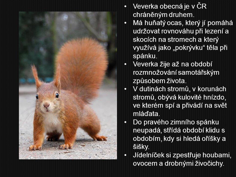 Veverka obecná je v ČR chráněným druhem.