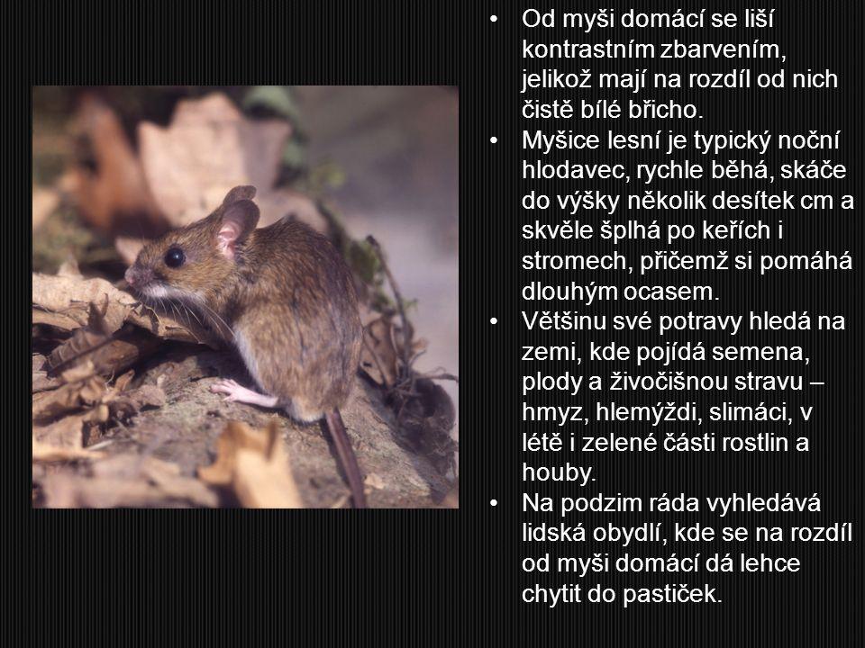 Od myši domácí se liší kontrastním zbarvením, jelikož mají na rozdíl od nich čistě bílé břicho.