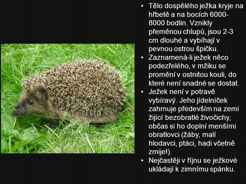 Tělo dospělého ježka kryje na hřbetě a na bocích 6000-8000 bodlin