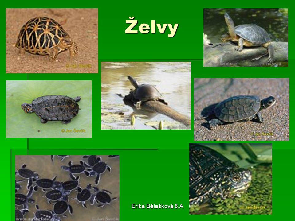 Želvy Erika Bělašková 8.A