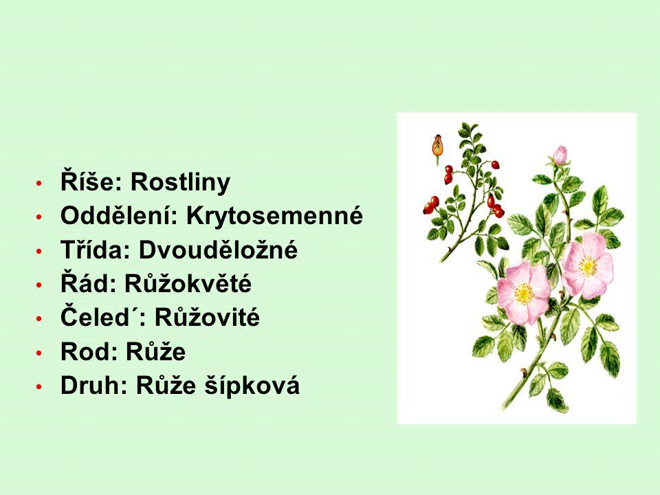 Říše: Rostliny Oddělení: Krytosemenné. Třída: Dvouděložné. Řád: Růžokvěté. Čeled´: Růžovité. Rod: Růže.