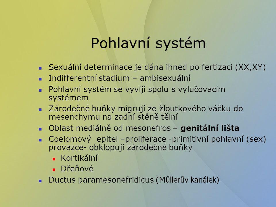 Pohlavní systém Sexuální determinace je dána ihned po fertizaci (XX,XY) Indifferentní stadium – ambisexuální.